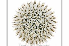 Echinops 2
