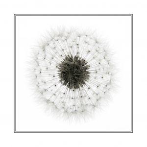 Dandelion (card order code 90130)